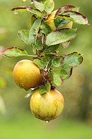 Cultivated Apple Malus domestica ´Zabergau Renette´, German dessert apple, fruit on tree in orchard, Shropshire, England