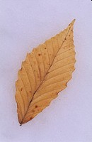 American Beech Fagus grandifolia Leaf lying on snow _ Michigan _ February