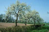 Damson Prunus insititia trees in blossom, Worcestershire, England