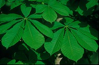 Chestnut Horse Aesculus hippocastanum Close up of leaves S