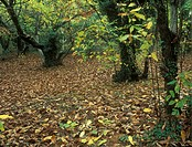 Sweet Chestnut Castanea sativa Woodland Deciduous fallen leaves on ground, Massif Des Maures France