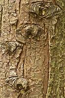 Grand Fir Abies grandis close_up of bark, mature tree