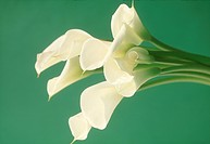 Close_up of white cannas.
