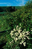 Common Hawthorn Crataegus monogyno May blossom beside farm gate _ Powys, Wales
