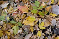 Box Elder Acer negundo and Cottonwood Populus sp fallen leaves, Zion N P , Utah, U S A , autumn