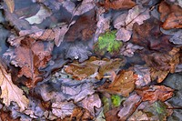 Sessile Oak Quercus petraea fallen leaves, accumulated in woodland stream, Powys, Wales, autumn