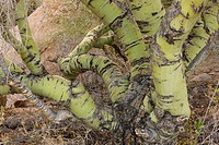 Foothill Palo Verde Cercidium microphyllum close_up of old trunks, Arizona, U S A