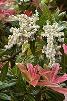 Chinese Pieris Pieris formosa var forrestii ´Wakehurst´, close_up of flowers and new leaves, in garden, may