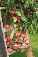 Victoria Plum Prunus domestica freshly picked fruit, in trug on ladder, in garden, England, august