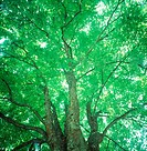 Low angle view of huge trees with branches