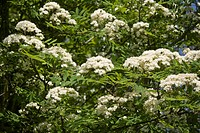 Rowan Sorbus aucuparia flowers and leaves, Holworth, Dorset, England, may