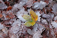 Sycamore Acer pseudoplatanus frost covered fallen leaf amongst oak leaves, Powys, Wales, autumn