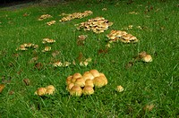 Sulphur Tuft Fungi Hypholoma fasciculare fruiting bodies, in garden lawn, Dumfries and and Galloway, Scotland