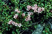 Trailing Azalea Loiseleuria procumbens Flowering