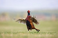 Pheasant Phasinaus colchicus adult male displaying 2 of 4  Scotland  March