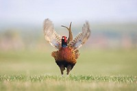 Pheasant Phasinaus colchicus adult male displaying 4 of 4  Scotland  March