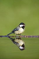 Great tit Parus major drinking at garden pool  Scotland  May