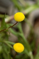 Golden Buttons Cotula coronopifolia flowering in garden