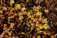 Iceland Purslane Koenigia islandica flowering