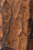 Santa Fe Opuntia Opuntia echios barringtonensis Bark, Santa Fe Barrington, Galapagos