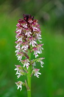 burnt orchid, orchis ustulata, Ticino, Switzerland