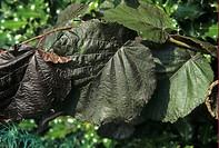 Filbert Corylus maxima purpurea leaf
