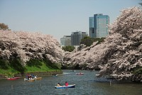 Japan, Tokyo, Chidorigafuchi, People boating in river, cherry blossom with skyscraper in background