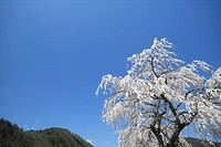 Japan, Shiga Prefecture, Cherry blossom