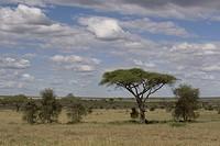 Savannah ,acacia trees, landscape, sky,clouds, Serengeti, Tanzania, Africa,
