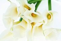 Calla lily, close_up