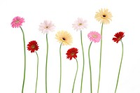 Row of Gerbera daisies on white background, close_up
