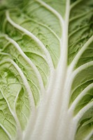 Chinese cabbage leaf, close_up