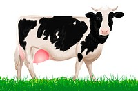 A cow facing front , illustration