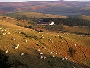 Hill farming with sheep in evening light, Long Mynd, west of Church Stretton, Shropshire, England