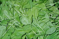 Arugula salad greens Eruca vesicaria sativa, native to the Mediterranean Region.
