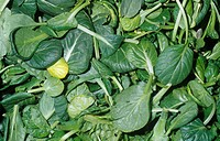 Tatsoi or Rosette Bok Choy salad greens Brassica rapa chinensis, native to China.