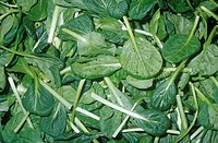 Tatsoi or Rosette Bok Choy Brassica rapa chinensis salad greens, native to China.