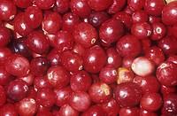 Cranberries Vaccinium macrocarpon, native to Northeastern USA.