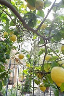 Lemon tree with lemons, Summer, Castellabate, Cilento, Italy