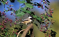 Carolina Chickadee Poecile carolinensis in Wild Grapes, USA.