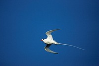 Red billed Tropicbird Phaethon aethereus, flying, Galapagos Islands