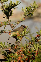 Cedar Waxwing Bombycilla cedrorum eating a Pyracantha berry, Arizona, USA.