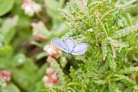 Karner Blue Butterfly male Lycaeides melissa samuelis