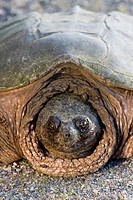 Snapping turtle Chelydra serpentina on the shoulder of the Highway through Killarney Provincial Park, Ontario, Canada. In June snapping turtles are of...