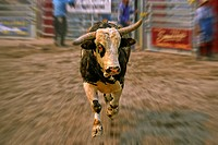 A rodeo bucking bull charging forward with agression and authorityat a rodeo event in Alberta Canada.