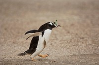 Leaves are collected by Gentoo Penguins Pygoscelis papua as nesting material, Falkland Islands.