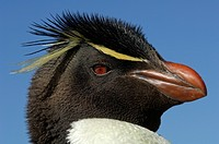 Rockhopper Penguin head Eudyptes chrysocome showing the thin yellow supercilium eyebrow which does not fuse on the forehead and the bright red eyes, F...