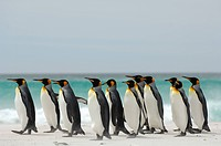 King Penguins Aptenodytes patagonicus walking along a sandy beach, Falkland Islands.