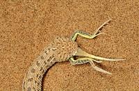 Peringueys Sidewinding Adder Bitis peringueyi eating lizard prey, Namib Desert, Namibia.