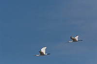Eurasian Spoonbills in flight